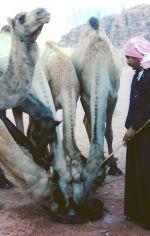 camelsdrinkingwithdifallah72.jpg