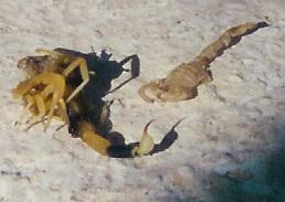 scorpion-tafila.jpg
