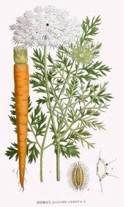 botanical-print-carrot