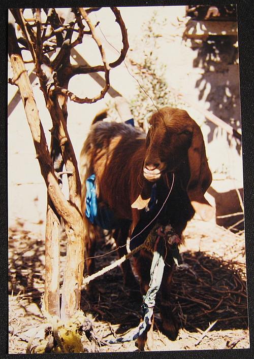 bedouins-fatimas-goat1