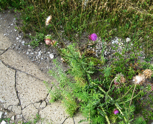 thistle by cracked sidewalk