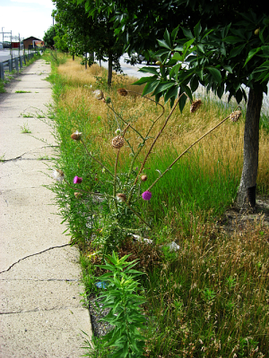 thistle by sidewalk