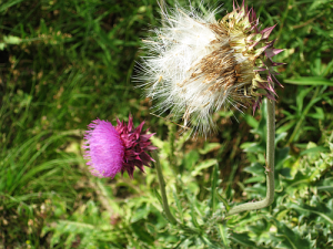 thistle seed and flower