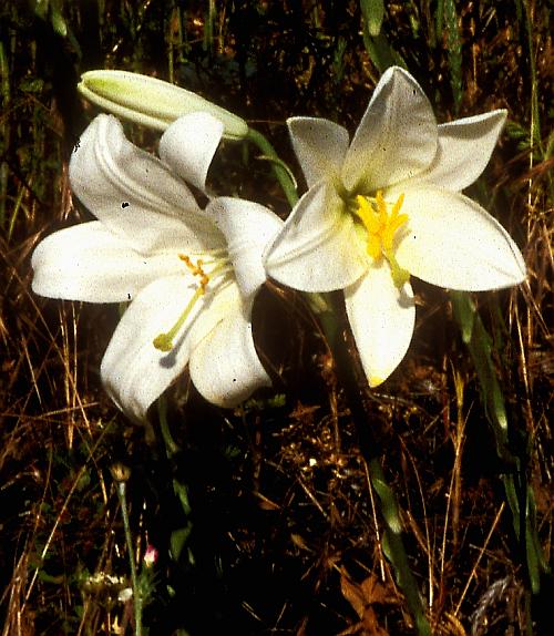 madonna lily500