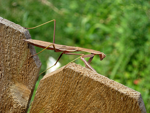 mantis on fence