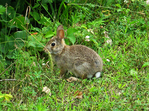 walk-cottontail