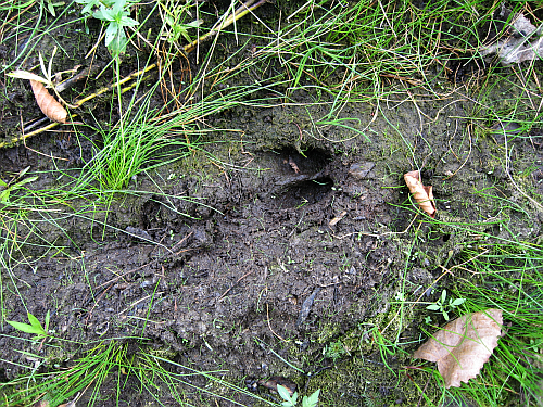 walk-deer footprint