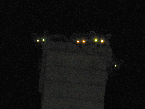 walk-racoons on chimney3