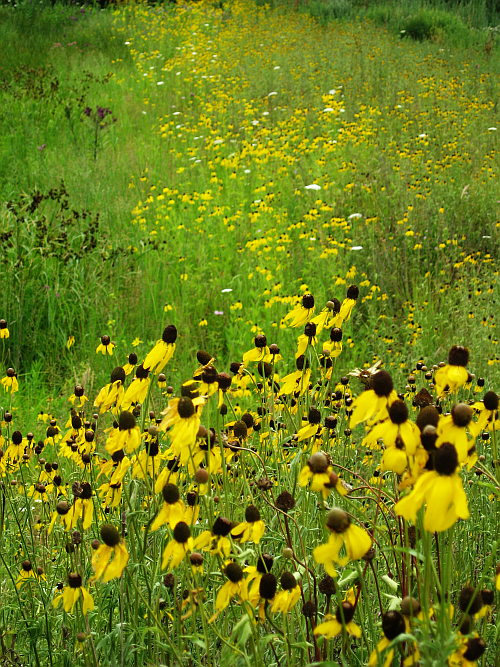 walk-sunflowers
