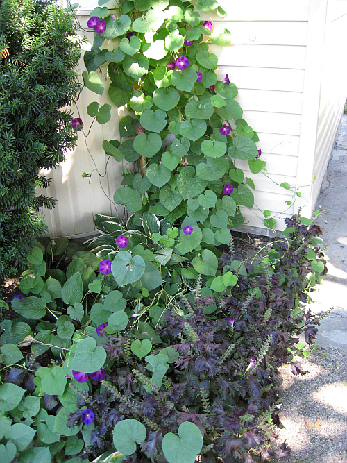 morning glories in gas line