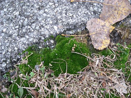 wolf lake moss