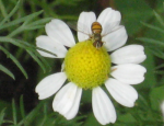 5bee on small daisy